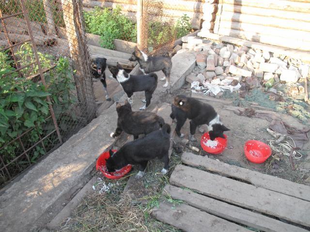 Продаю:  щенков русско-европейской лайки фото2