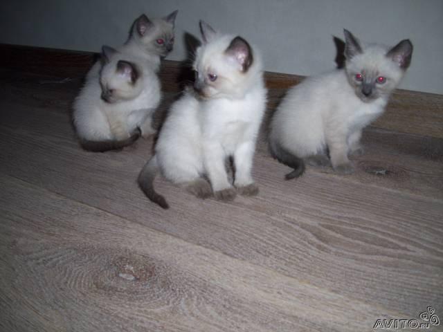 Продаю: Тайские (старо сиамские) котята