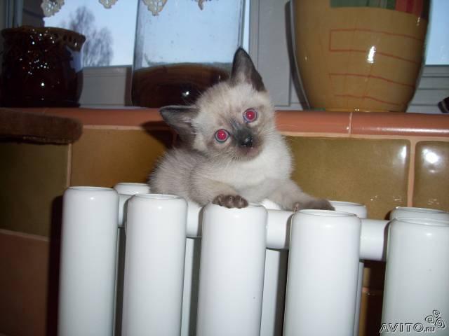 Продаю: Тайские (старо сиамские) котята фото2