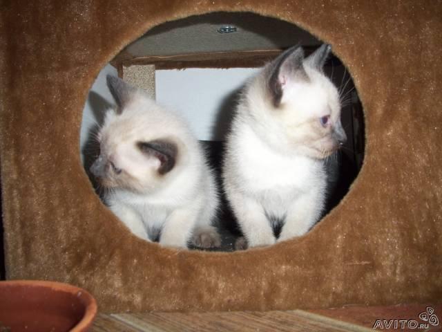 Продаю: Тайские (старо сиамские) котята фото3