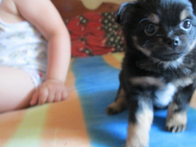 Продаю:  щенков чихуахуа длинношерстных  фото2