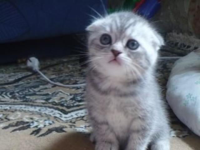 Продаю:  котят скотиш-страйт и скотиш-фолд