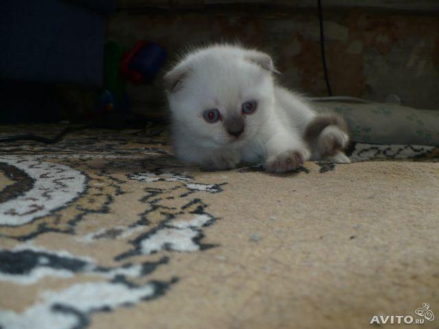 Продаю:  котят скотиш-страйт и скотиш-фолд фото2
