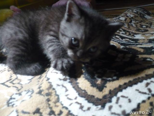 Продаю:  котят скотиш-страйт и скотиш-фолд фото3