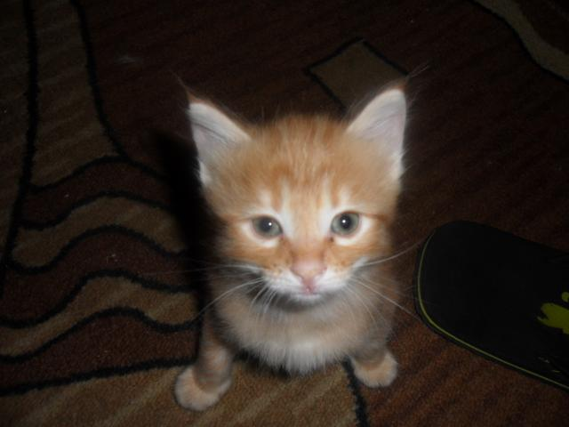 Продаю: продажа котят породы курильский бобтейл