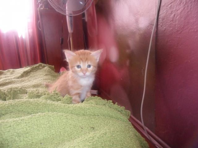 Продаю: продажа котят породы курильский бобтейл фото2