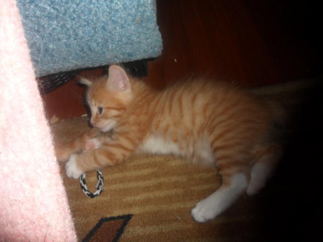 Продаю: продажа котят породы курильский бобтейл фото3