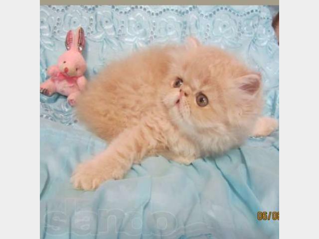 Продаю: персидские котята фото2