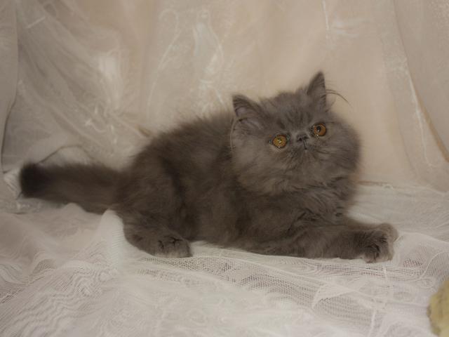 Продаю: Персидский котёнок