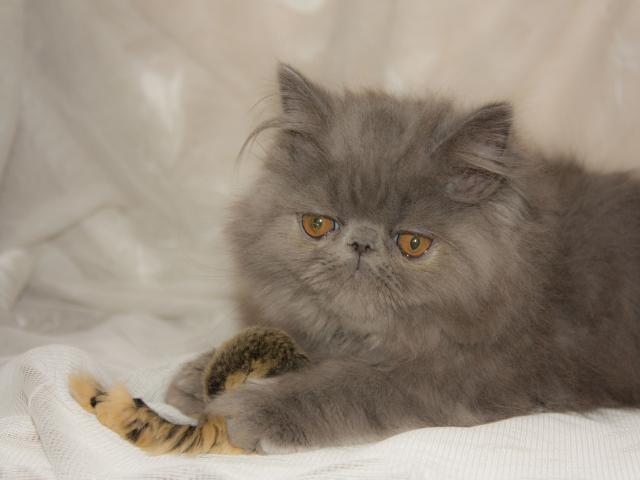 Продаю: Персидский котёнок фото2