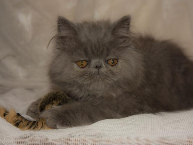 Продаю: Персидский котёнок фото3