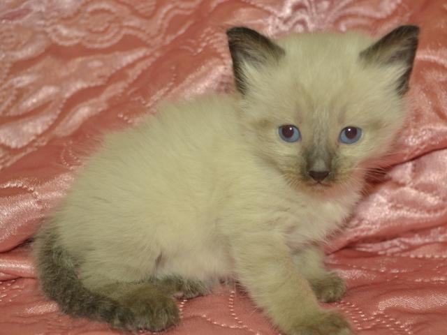 Продаю:  сиамских котят