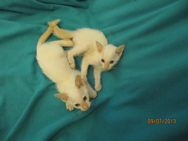 Продаю: Сиамские котята современного типа