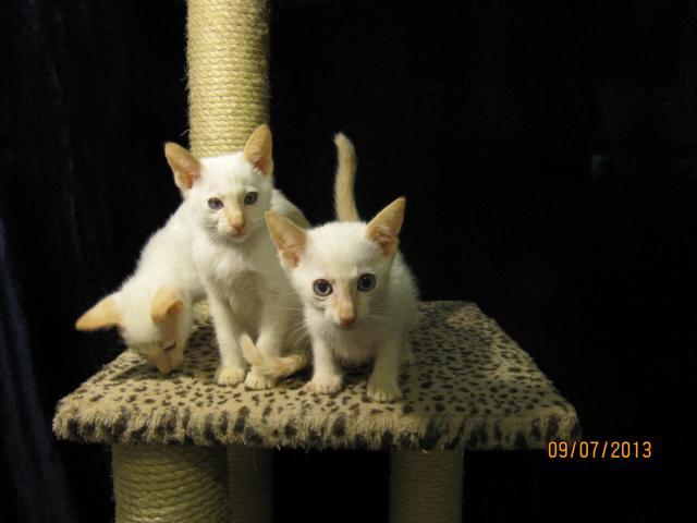 Продаю: Сиамские котята современного типа фото2