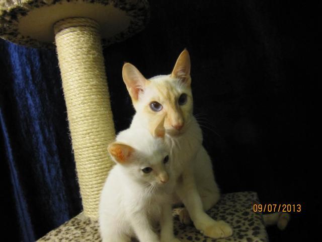 Продаю: Сиамские котята современного типа фото3