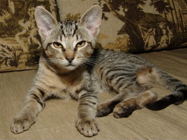 Отдам в дар: Котенок-девочка метис Египетской мау в добрые руки