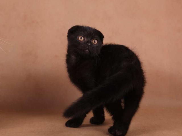 Продаю: Шотландские котята оригинального окраса