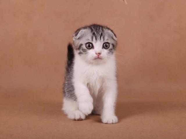 Продаю: Шотландские котята оригинального окраса фото2