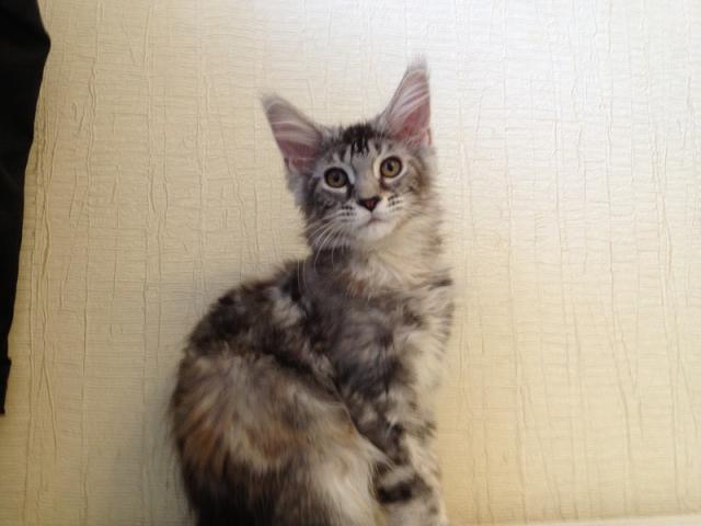 Продаю: котята мейн кун