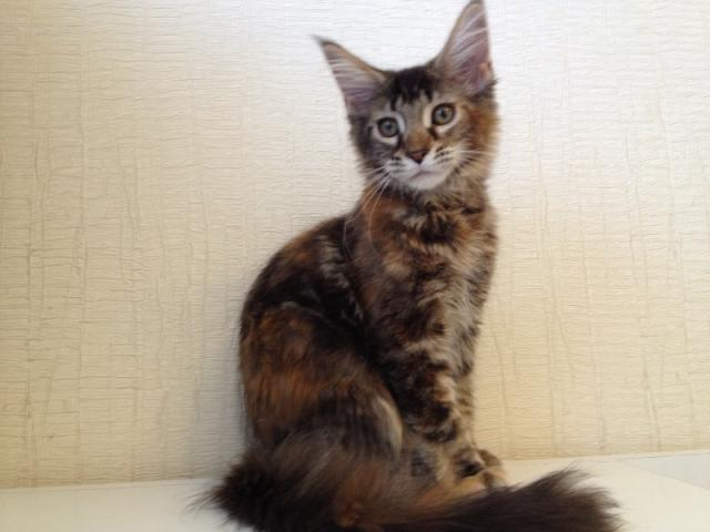 Продаю: котята мейн кун фото2