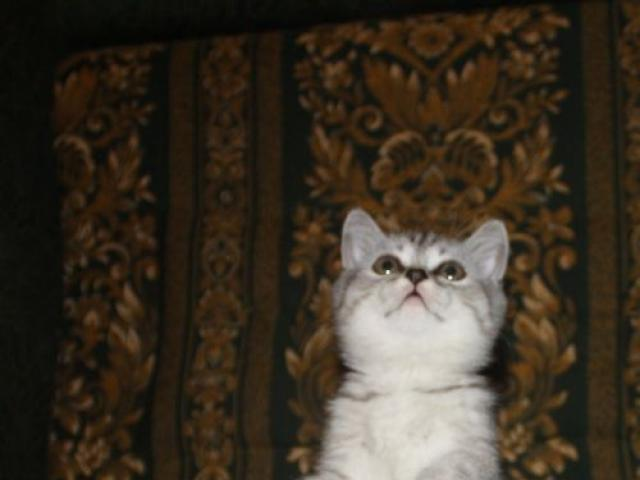 Продаю: британские котята, кошечка ангел