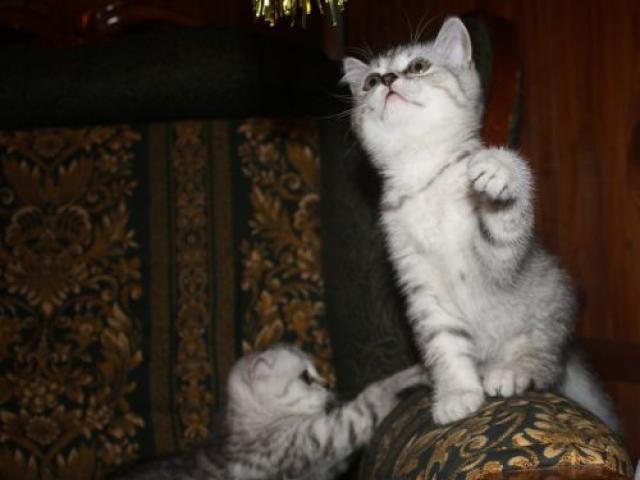 Продаю: британские котята, кошечка ангел фото2