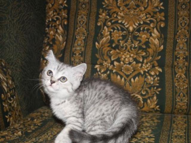 Продаю: британские котята, кошечка ангел фото3