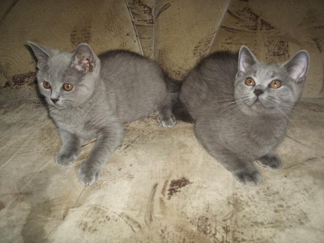 Продаю: чистокровные британские котята