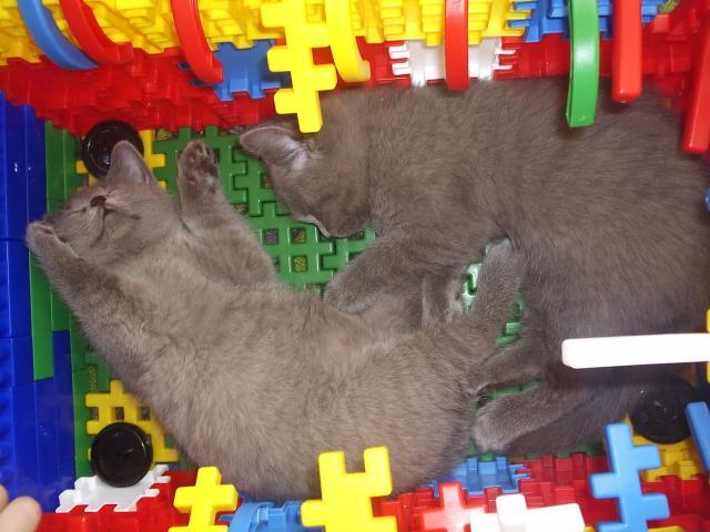 Продаю: чистокровные британские котята фото2