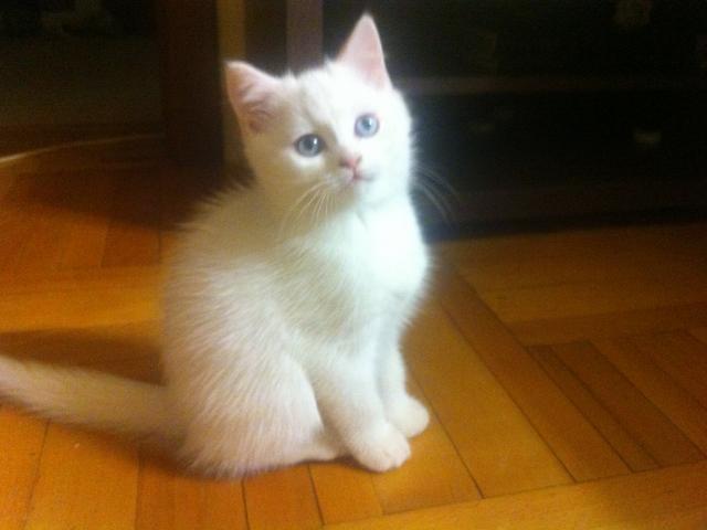 Продаю: котята скотиш-страйт