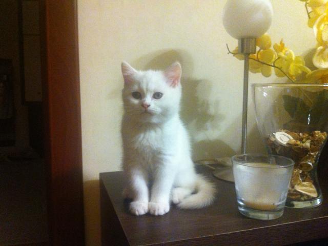 Продаю: котята скотиш-страйт фото2