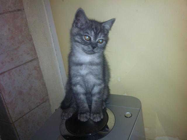 Продаю: котята скотиш-страйт фото3