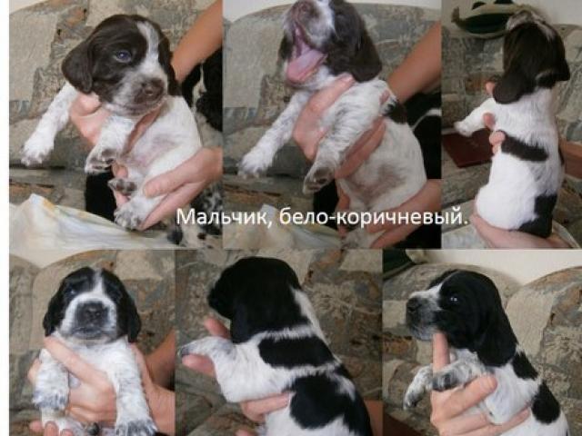Продаю: Породистые щенки фото2