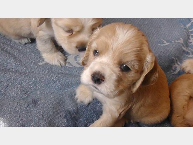 Продаю:  щенков Американского кокер-спаниеля фото2