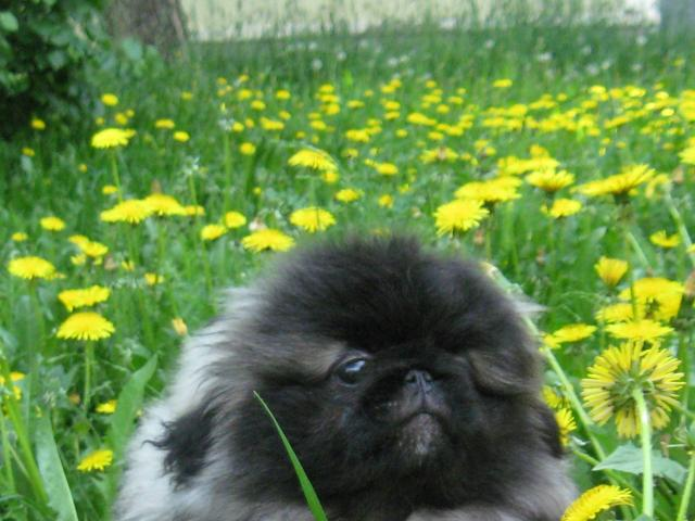Продаю: щенки Пекинеса фото2