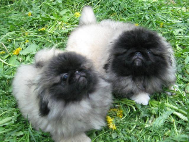 Продаю: щенки Пекинеса