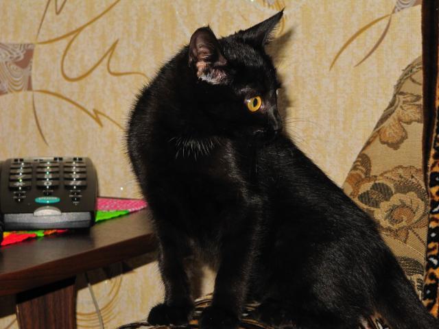 Отдам в дар: В добрые руки черную кошечку (3 мес) фото2