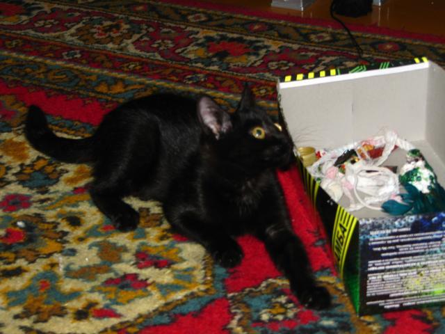 Отдам в дар: В добрые руки черную кошечку (3 мес) фото3