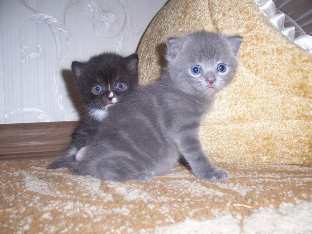Продаю:  2 котят