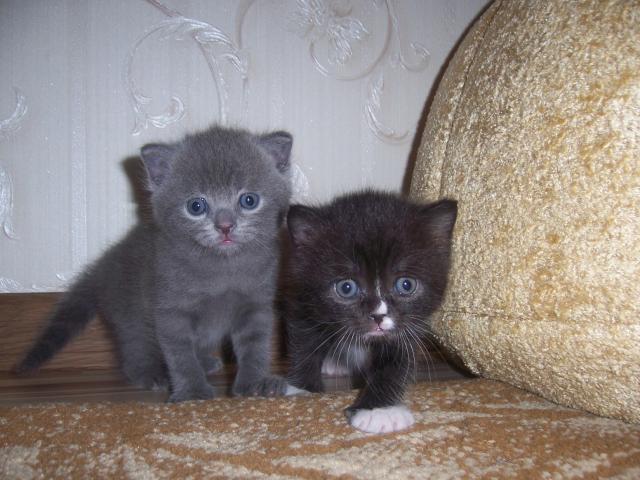 Продаю:  2 котят фото2