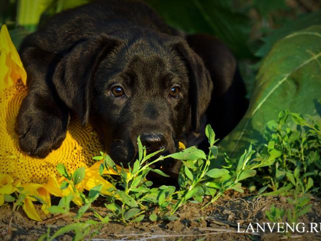 Продаю: щенки лабрадора фото2