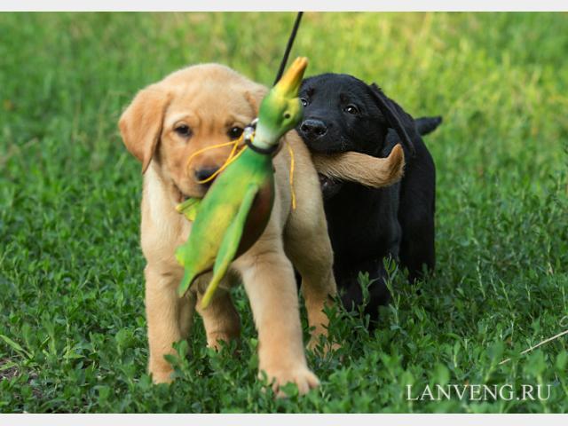 Продаю: щенки лабрадора фото3