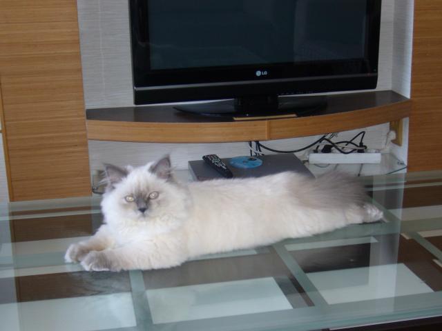 Вязка: Титулованный кот приглашает на вязку
