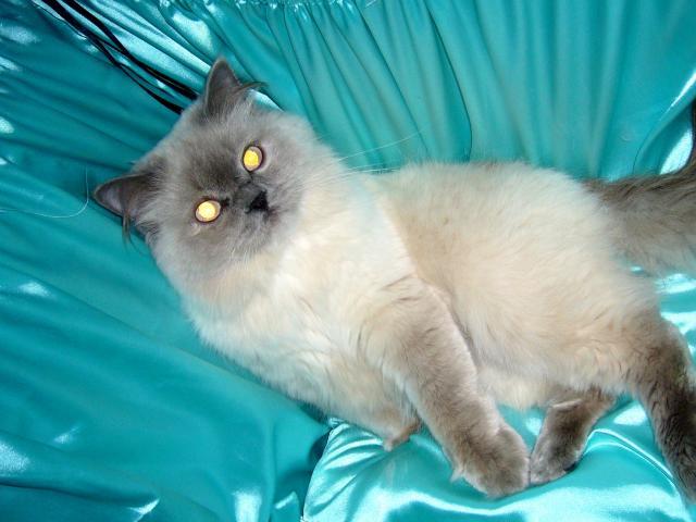 Вязка: Титулованный кот приглашает на вязку фото2
