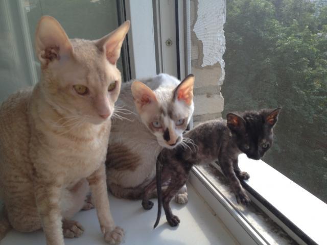Продаю:  котенка (девочку) фото2