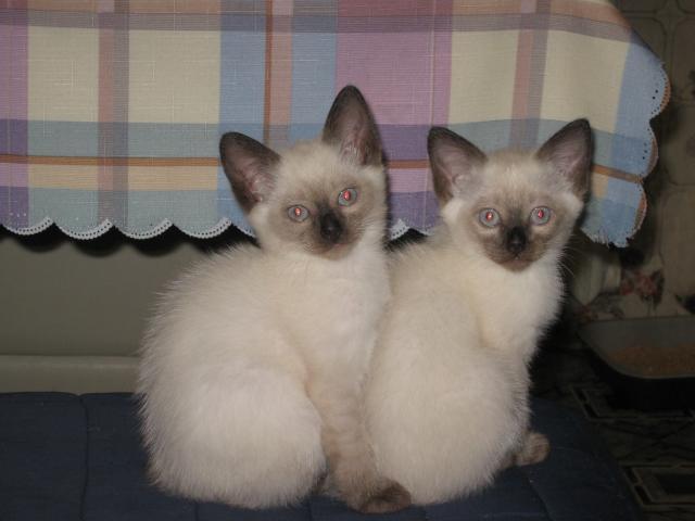 Продаю: Чистокровные сиамские котята