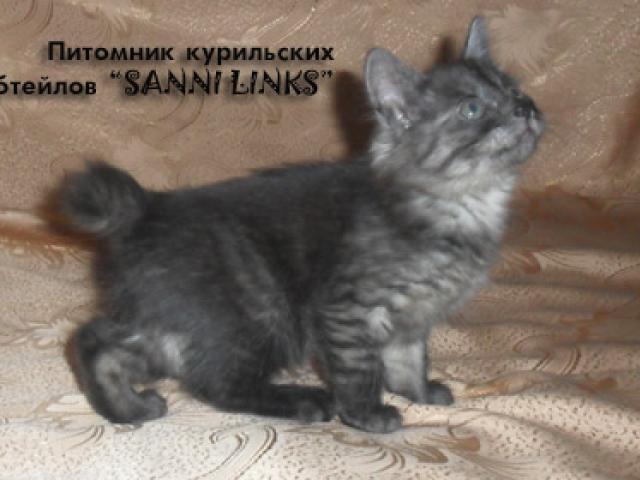 Продаю: Алиментный котенок курильского бобтейла