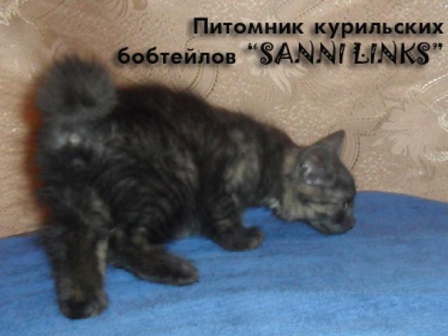 Продаю: Алиментный котенок курильского бобтейла фото2