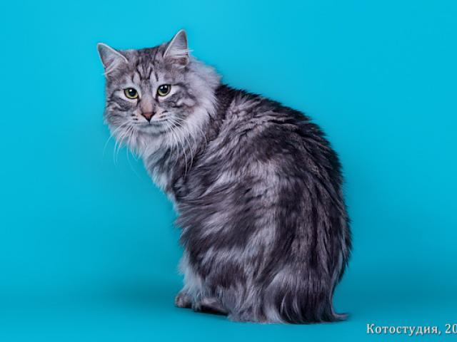 Продаю: Алиментный котенок курильского бобтейла фото3