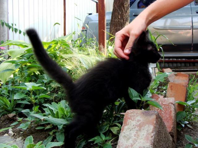 Отдам в дар: Отдам черного котеночка хорошим людям фото3